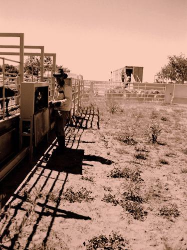 Cattle-Work10003