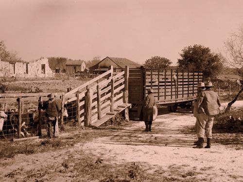 Image00014-loading-cattle-truck